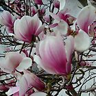 Magnolia in bloom by Ana Belaj