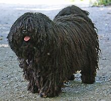 Young Hungarian Puli by welovethedogs
