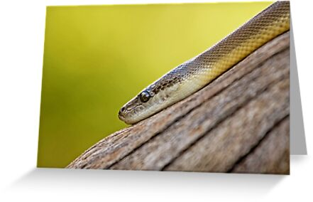 Snake Eye by Josie Eldred