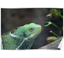 Fijian Iguana Poster