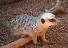 Baby Meerkat by Leanne Allen