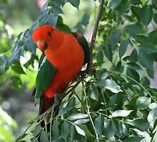 Red parrot 2 by faulsey