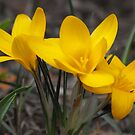 Yellow Crocus by Tracy Faught
