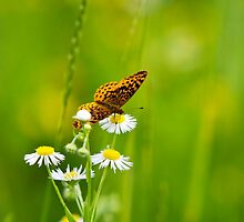 Meadow Butterfly by Christina Rollo