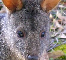The Tasmanian Pademelon by Marilyn Harris