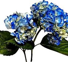 Two Blue Hydrangea With Leaves by Susan Savad