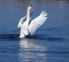 Swan Display - Male Mute Swan by Lynda   McDonald