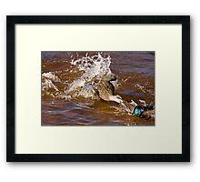 Duck Fight Framed Print