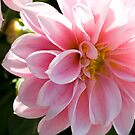 the beautiful dahlia by memaggie