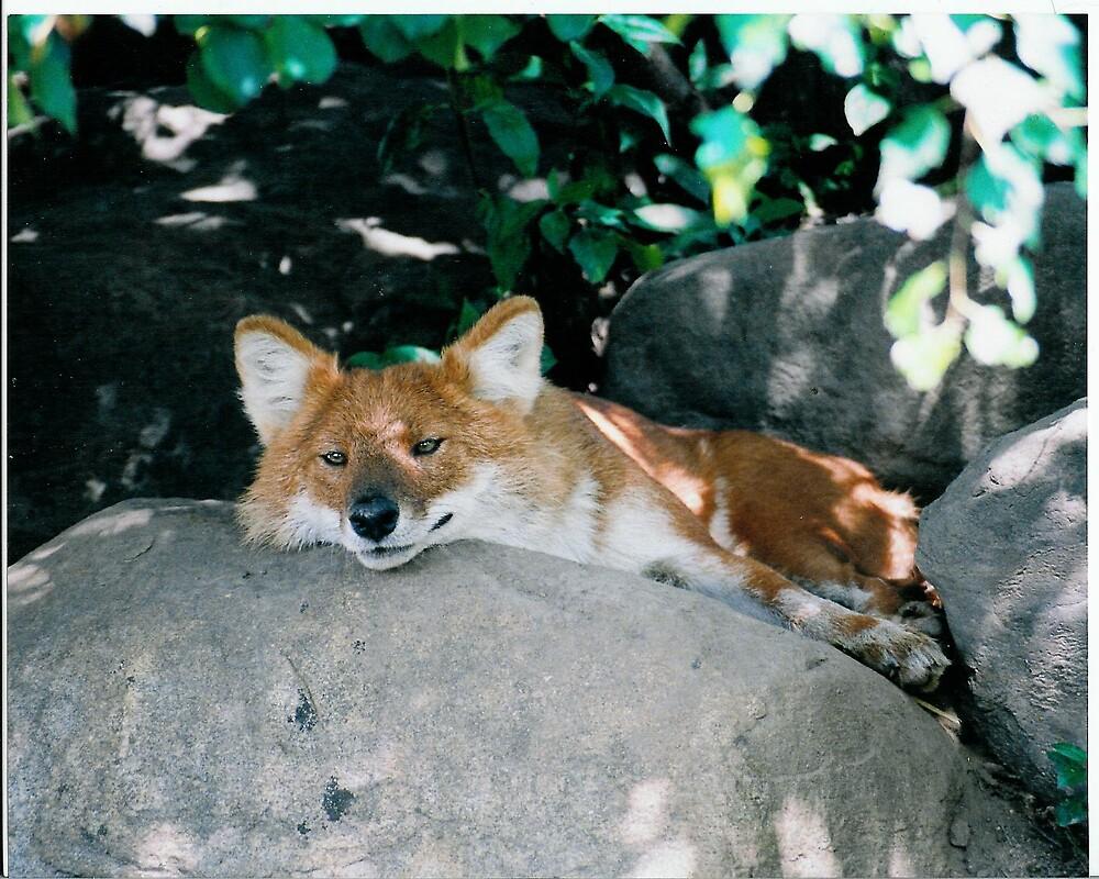 sly fox by mizvicki