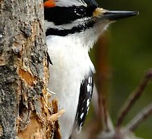 Hairy Woodpecker. Male by Tracy Faught