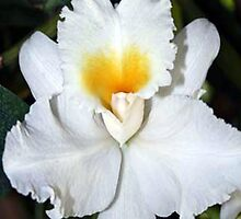 Orchid 35 by Laurianne  Macdonald