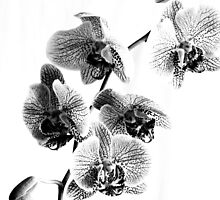 Black and White Phalaenopsis Orchid by ellearden