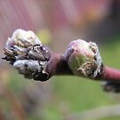 Peach Buds by Maryanne Lawrence