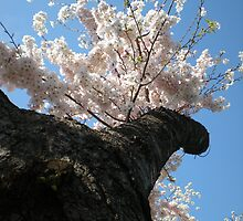 Cherry Blossom Tree by TabithaPayne