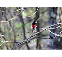Rose Breasted Grosbeak Photographic Print