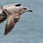 Juvenile Herring Gull - Larus argentatus by Chris Monks