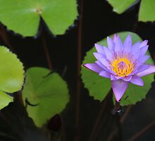 Water Lily by EmmaLeigh