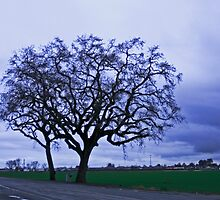 Majestic Oak Trees  by Buckwhite
