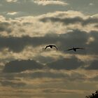 A couple of swans by PeterRichardson