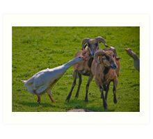 Geese v Rams Art Print
