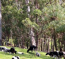 'Grazing Cows' by Veronicar
