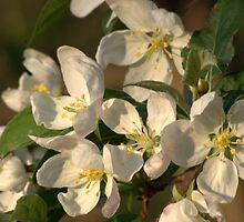 Spring Blossoms by Lynn McCann