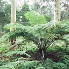 Kinglake National Park, Victoria by Kymbo