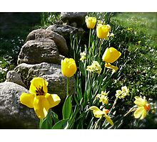 Tulips, Daffodils, and Stones, Front Yard in April Series 2009 Photographic Print