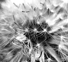 DandelionHead by Charlotte Harold
