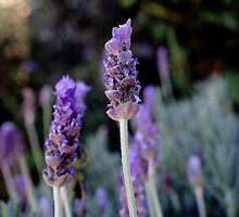 English Lavender by Brandi  Genet