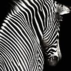Zebra Black Background by ellearden