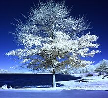Infrared Tree by TimBehuniak