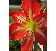 Amaryllis Bloom Photographic Print