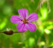 Herb Robert by Lindamell