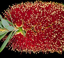 Bottlebrush by Bonnie T.  Barry