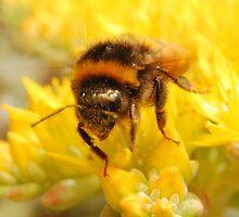 Bumble Bee #2 by ChrisHarvey67