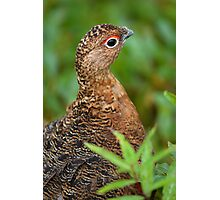 Ptarmigan Portrait Photographic Print