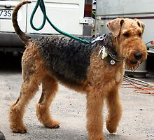 Well-trained Airedale Terrier by welovethedogs