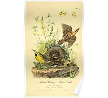 James Audubon Vector Rebuild - The Birds of America - From Drawings Made in the United States and Their Territories V 1-7 1840 - Meadow Starling or Meadow Lark Poster