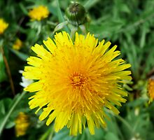 Delightful Dandelion, Back Yard in April Series 2009 by Jack McCabe