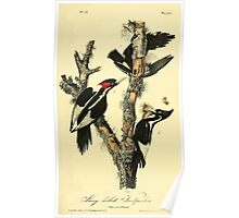 James Audubon Vector Rebuild - The Birds of America - From Drawings Made in the United States and Their Territories V 1-7 1840 - Ivory Billed Woodpecker Poster
