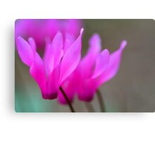 Wild Cyclamen Macro Canvas Print