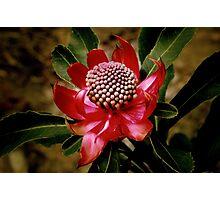 ~ Waratah - Telopea speciosissima ~ Photographic Print