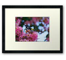 New Holland Honey Eater Framed Print