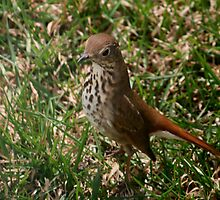 Hermit Thrush by Larry Trupp