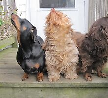 Cute Dachshund (Wire Haired) by welovethedogs