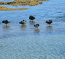 SWANS AT BLACK ROCK BEACH Sticker