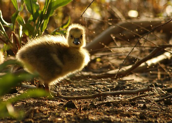 GLOWING GOSLING by Lori Deiter