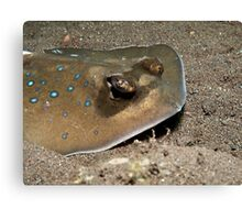 Blue Spotted Stingray Canvas Print